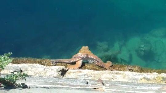 Octopus Capri